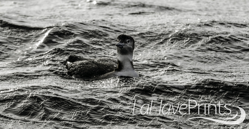 Lahave loon 1 by Terry Humphries